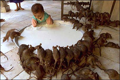 In India's Rat Temple (literally) a child shares with dozens of rats milk from a vat