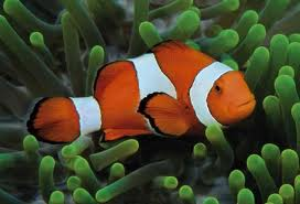 Clown Fish symbiosis with anemones makes impossible evolution even more obviously so...