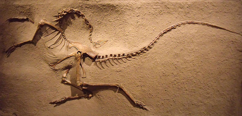 The famous worldwide dinosaur death pose, here of an ornithomimosaur, explained by death in a global flood
