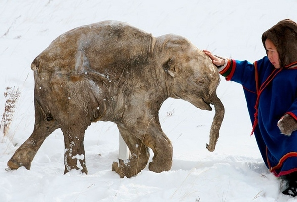 Frozen Mammoth evidence for catastrophism