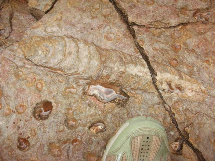 Nautiloids fossilized in allegedly slowly-deposited Grand Canyon limestone