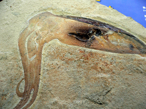 Inky squid fossil
