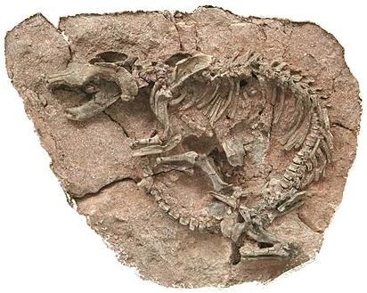 A mammal that ate a dinosaur