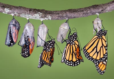 Monarch butterfly emerges in composite image...