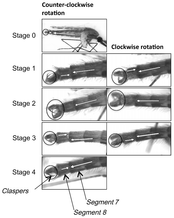 Mosquito genitalia rotation for reproduction