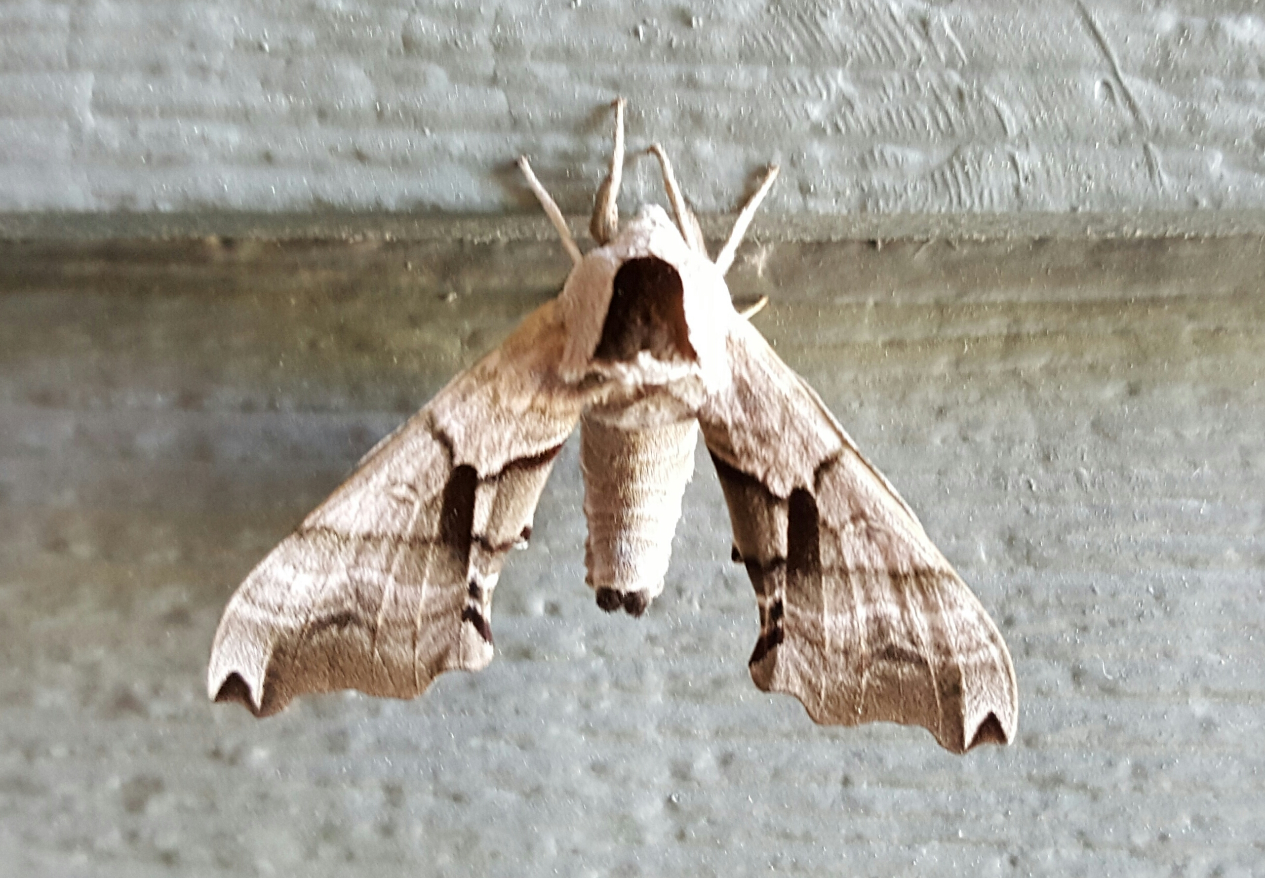 1980 Eyed Hawk-moth (Smerinthus ocellata)