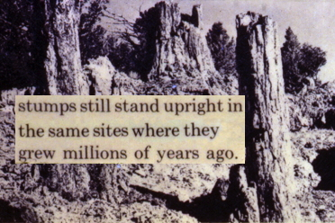 Yellowstone erroneous petrified tree exhibit: stumps standing upright where they grew...