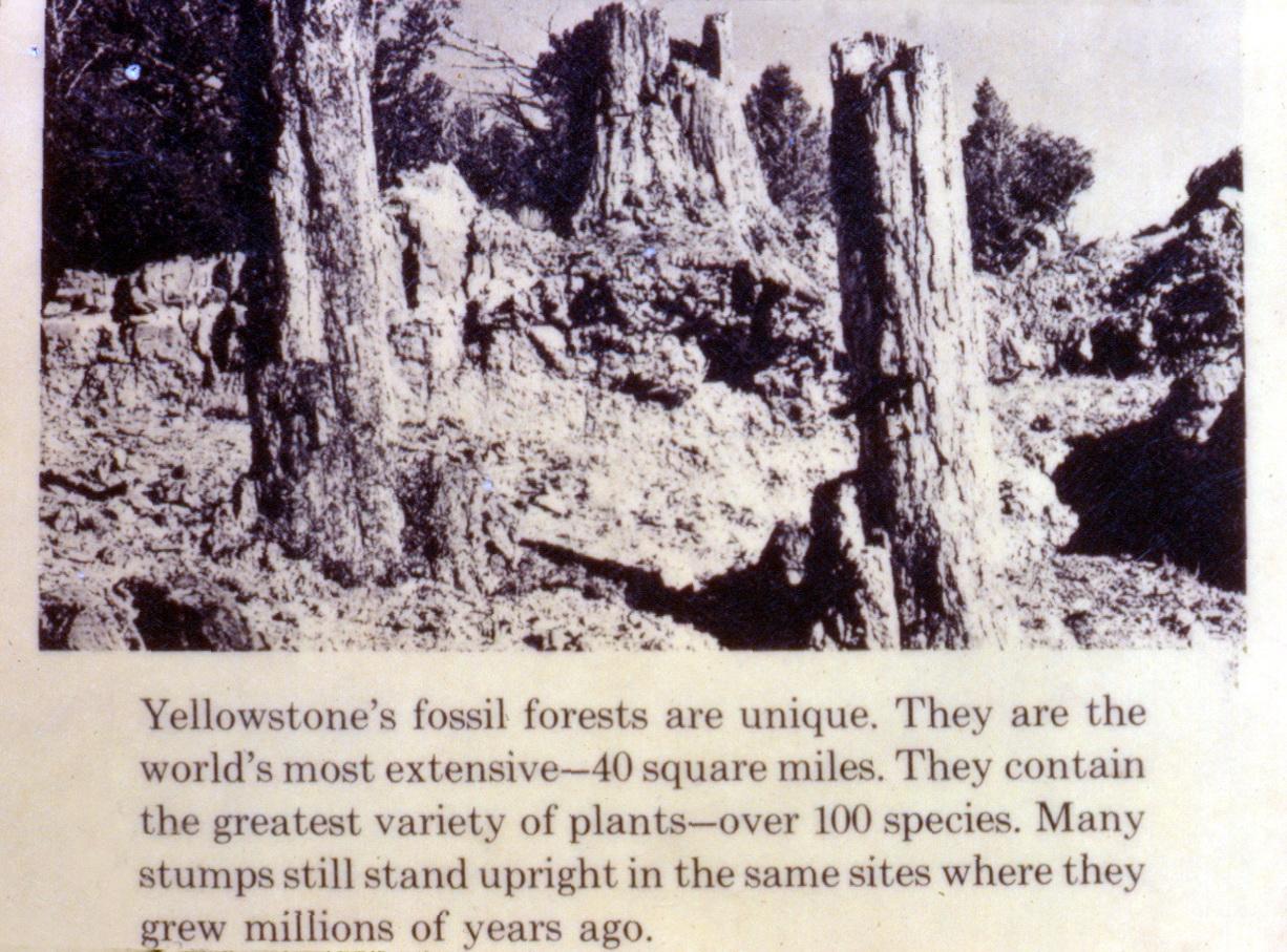 Erroneous Yellowstone petrified tree exhibit